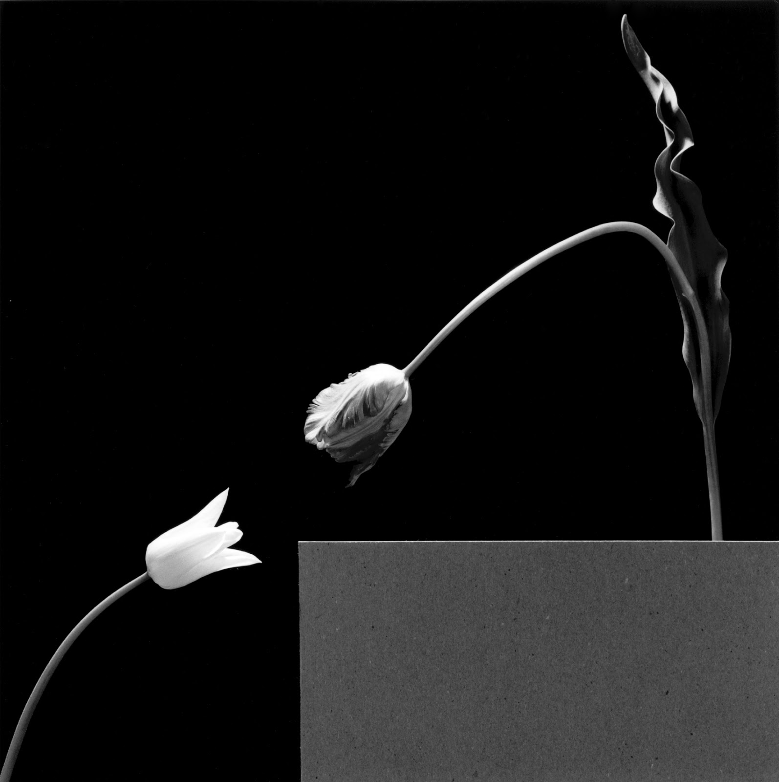 robert_mapplethorpe_two_tulips_1984.jpg