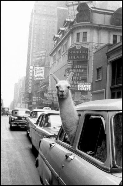Fotó: Inge Morath: Láma a Times Square-en, 1957 © Inge Morath / Magnum Photos