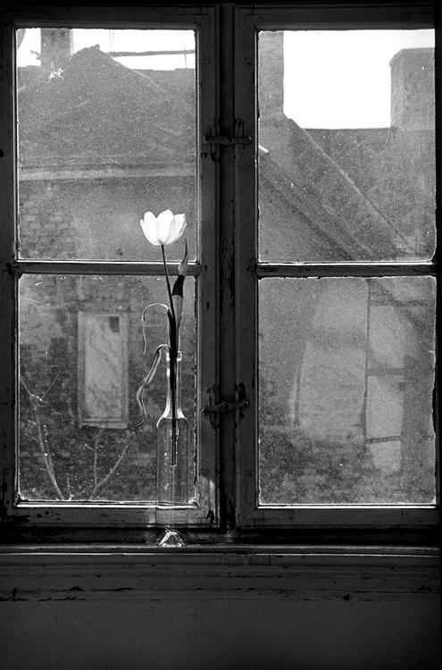 Fotó: Schäffer Zsuzsa: Fehér tulipán, Budapest, 1994-1995 © Schäffer Zsuzsa