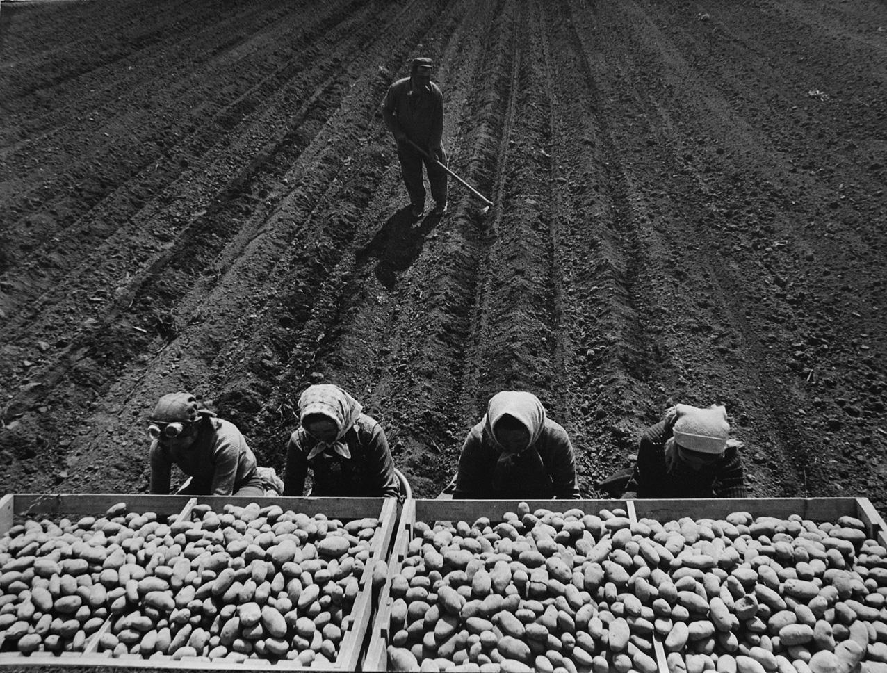 Fotó: Lazukics Anna: Krumpliültetés, Dunagálos, Vajdaság, Bácska, 1976