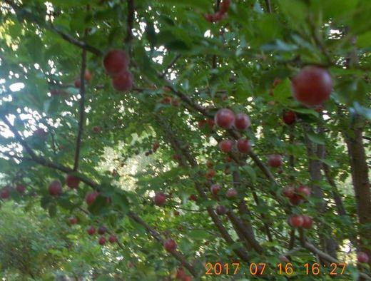 cseresznyeszilvafa-2017.jpg