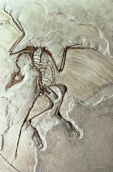 archaeopteryxfossil.jpg