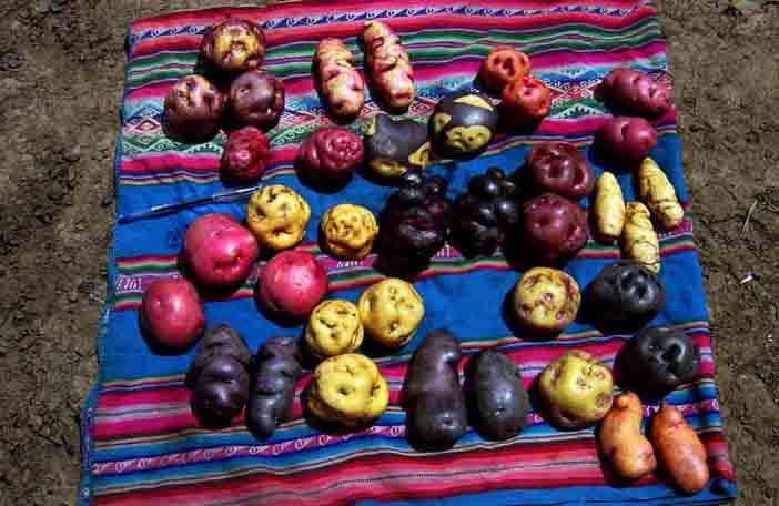species-of-potatoes.jpg