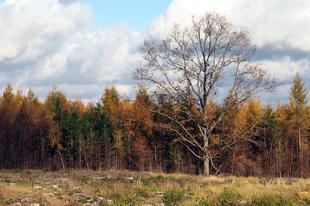Kati fája (Mátraalmás)