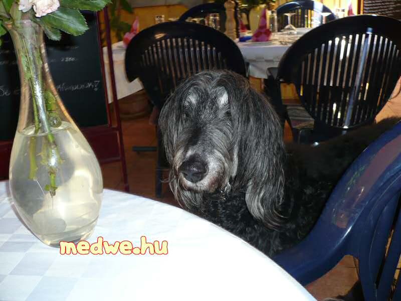 kutya az étteremben