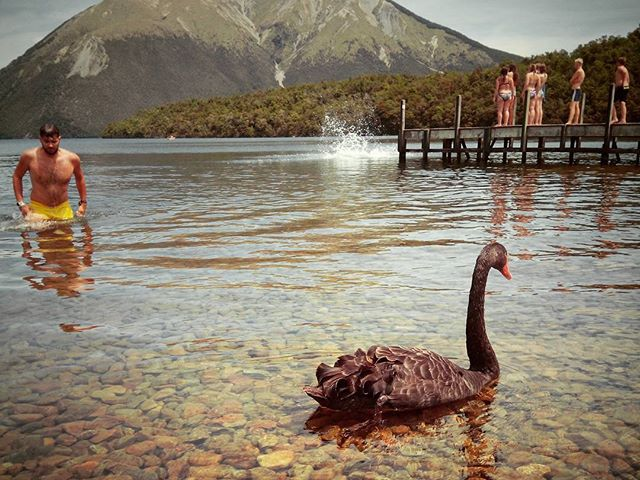 A National Park where you can swim with black swans. Only in NZ. #mertutaznijo #eupolisz #newzealand #lake #swim #blackswan #lakenelson #nationalpark #summer