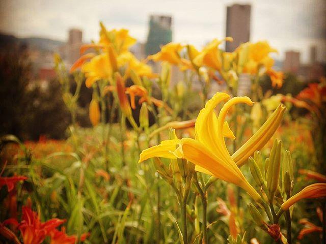 Városi liliomok. Lillies in town. #mertutaznijo #eupolisz #johannesburg #lilly #flowers #afrika #southafrica