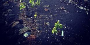Fekete vulkáni hamuban terem a jó malvázia. La Palmán a szőlőtőkék gaznak tűnnek ipari salakban, viszont a bor a tokaji aszúval vetekszik. On La Palma grapevines in black volcanic ash producing the famous wine malvasia. #mertutaznijo @reni.atesz #eupolisz #canarias #travel #travelphotography #lapalma #wine #grape