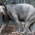 A nap képe: kopasz medvék a lipcsei állatkertben