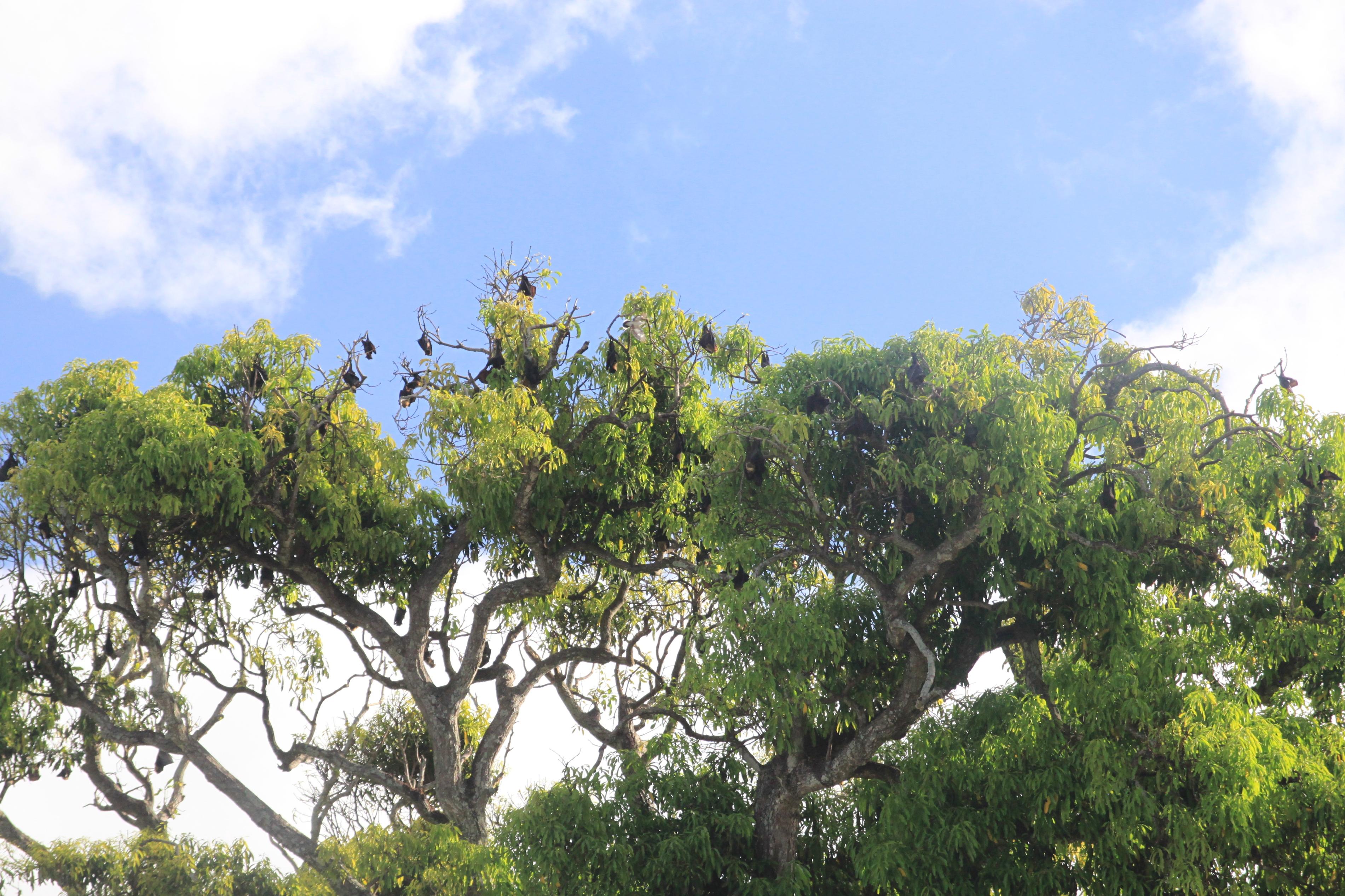Sok helyen lehetett látni a fákon lógva repülő rókákat, azaz hatalmas denevéreket. Testméretük akár félméteresnél is nagyobb lehet. Esténként repülnek ki vadászatra, de nem kell félni, vegánok: csak gyümölcsöket esznek. Igaz nem is láttam kóbor macskát az országban. Hm...