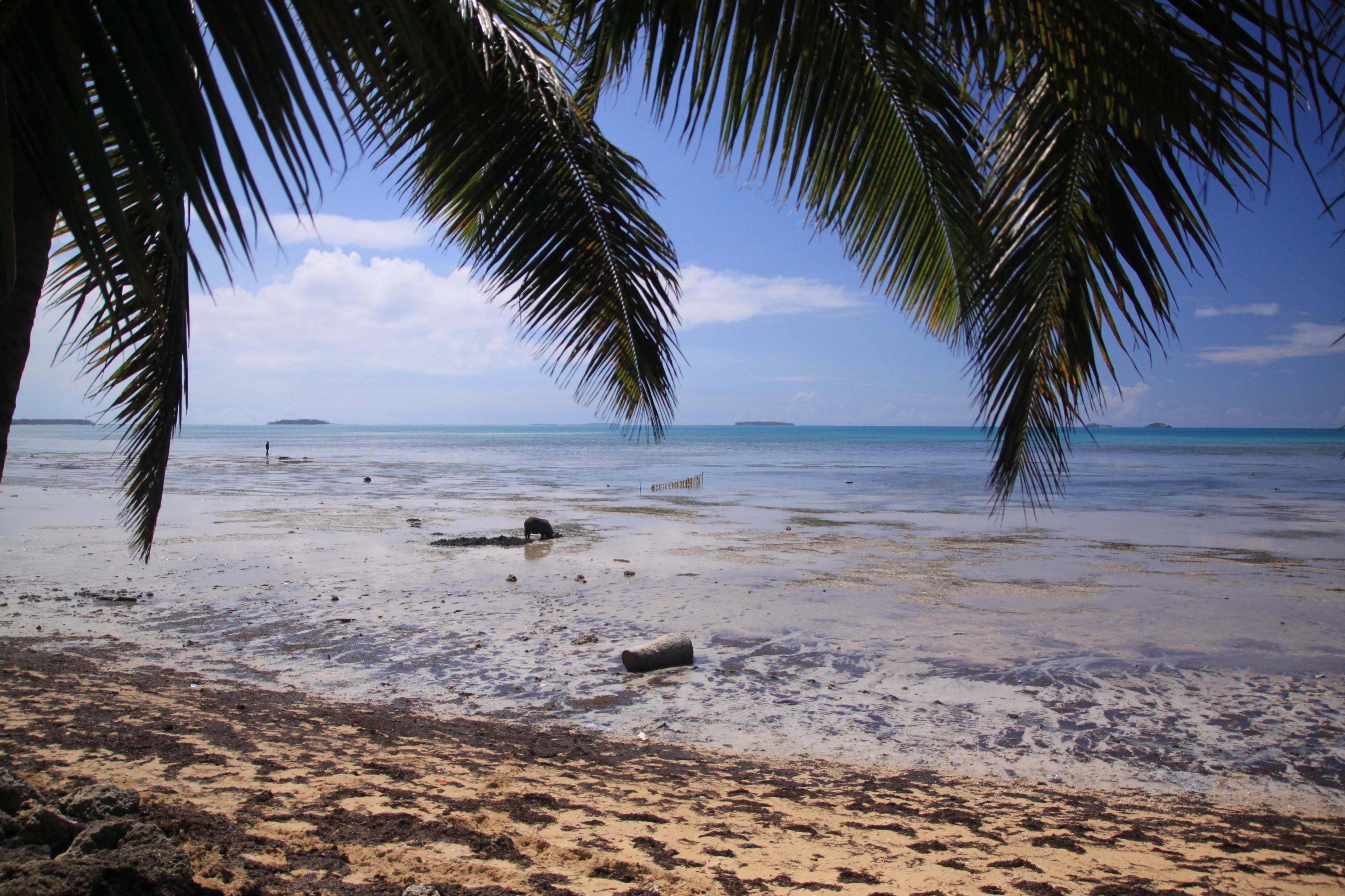Főleg azokon a helyeken lehet utóbbiakat látni, ahol erős az apály hatása, ugyanis ilyenkor malacék kimennek legelni egy kis kagylót a partra.