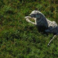 A vérszomjas Tigrics