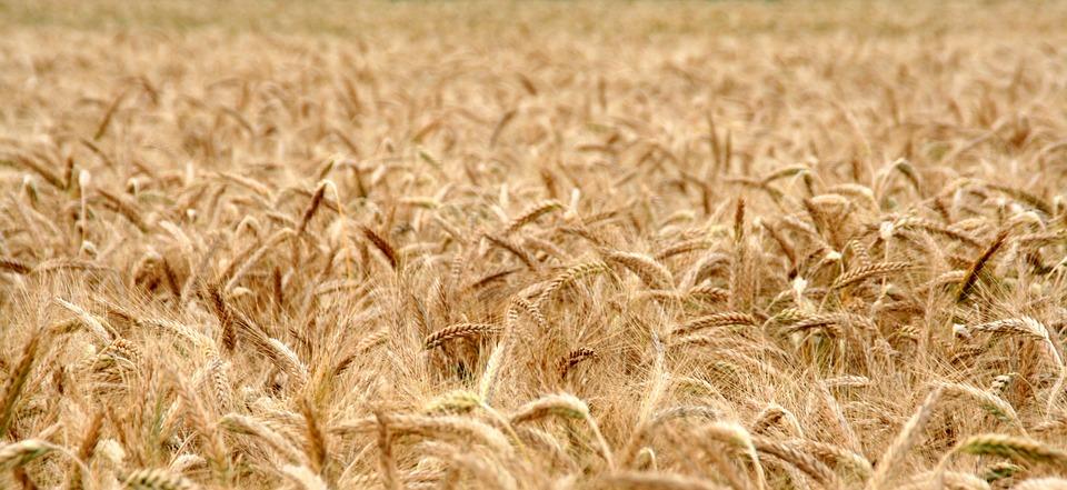 cornfield-2157352_960_720.jpg