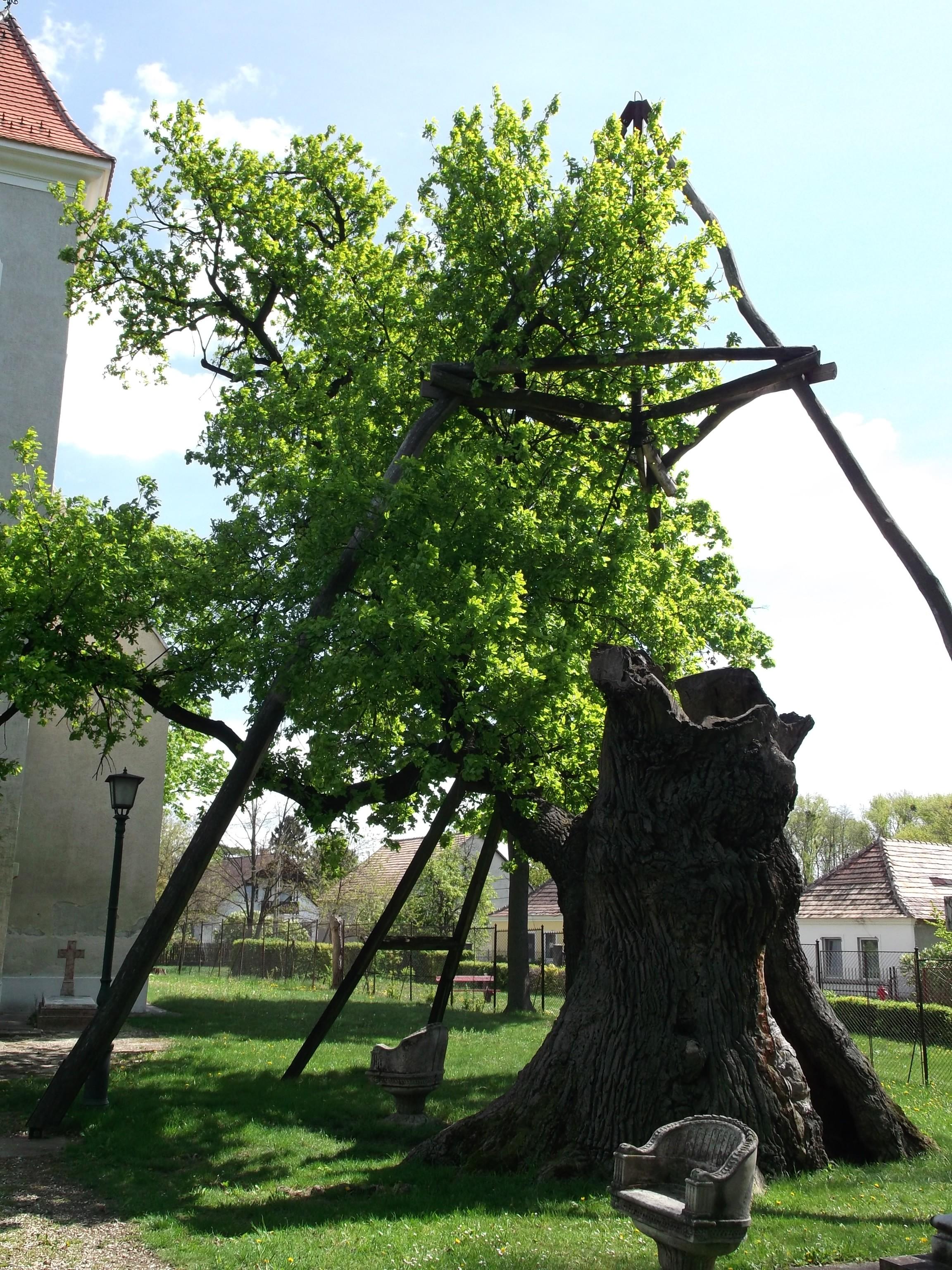 Hédervár - Öreg Tölgy