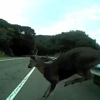 Egy őz radírozza le az országúti bringást