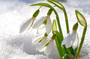 7 hely, ahol a hóvirágokban gyönyörködhetnek