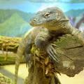 Segítse adója 1%-ával, hogy Florián és Durian, a komodói varánuszok újjászülessenek
