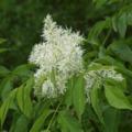 Az év fafaja a virágos kőris vagy manna kőris (Fraxinus ornus)