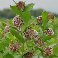 Amerikai növény a magyar pusztákon – a selyemkóró