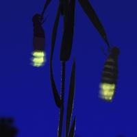 A 2015. év rovara: a nagy szentjánosbogár (Lampyris noctiluca)