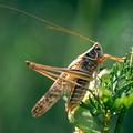 Kihalás fenyegeti az európai szöcskék, sáskák, tücskök negyedét