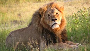 Cecil, a hímoroszlán a sajtóban és a vadonban
