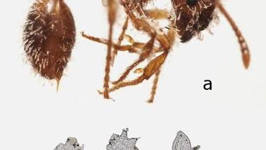 A Debreceni Egyetem kutatói a Kárpát-medencére új gombafajt találtak a gyűjteményi hangyák testén
