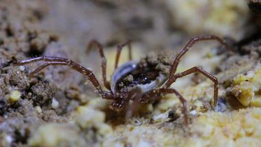 Tudományra új kullancsfaj került elő a hazai barlangokból