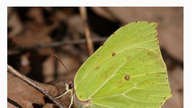 2013-as év rovara (Citromlepke), a National Geographic oldalain