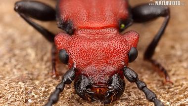 A tél bogara, fagyállóval a testében