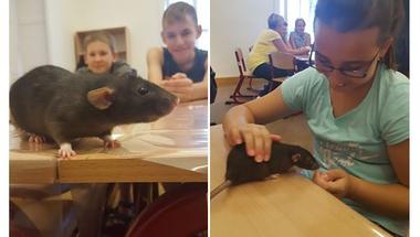 Hány lábujja van egy patkánynak?