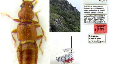 Tudományra új fajt írtak le a Magyar természettudományi Múzeum dél-koreai expedícióján gyűjtött holyvaanyagból