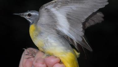 A Madárgyűjtemény munkatársai bemutató madárgyűrűzést tartottak