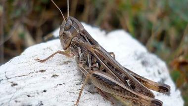 Puskás Gellért - Távolugró muzsikusok a kertben: sáskák és szöcskék