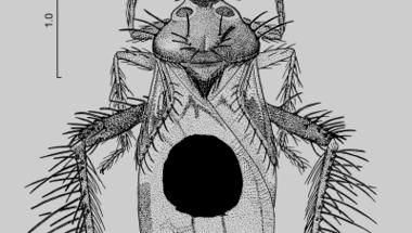 Hangyákat zsákmányol az újonnan felfedezett bizarr külsejű poloska