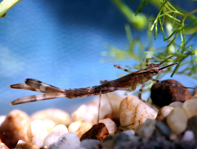20_calopteryx_splendens_larva_toth_s.jpg