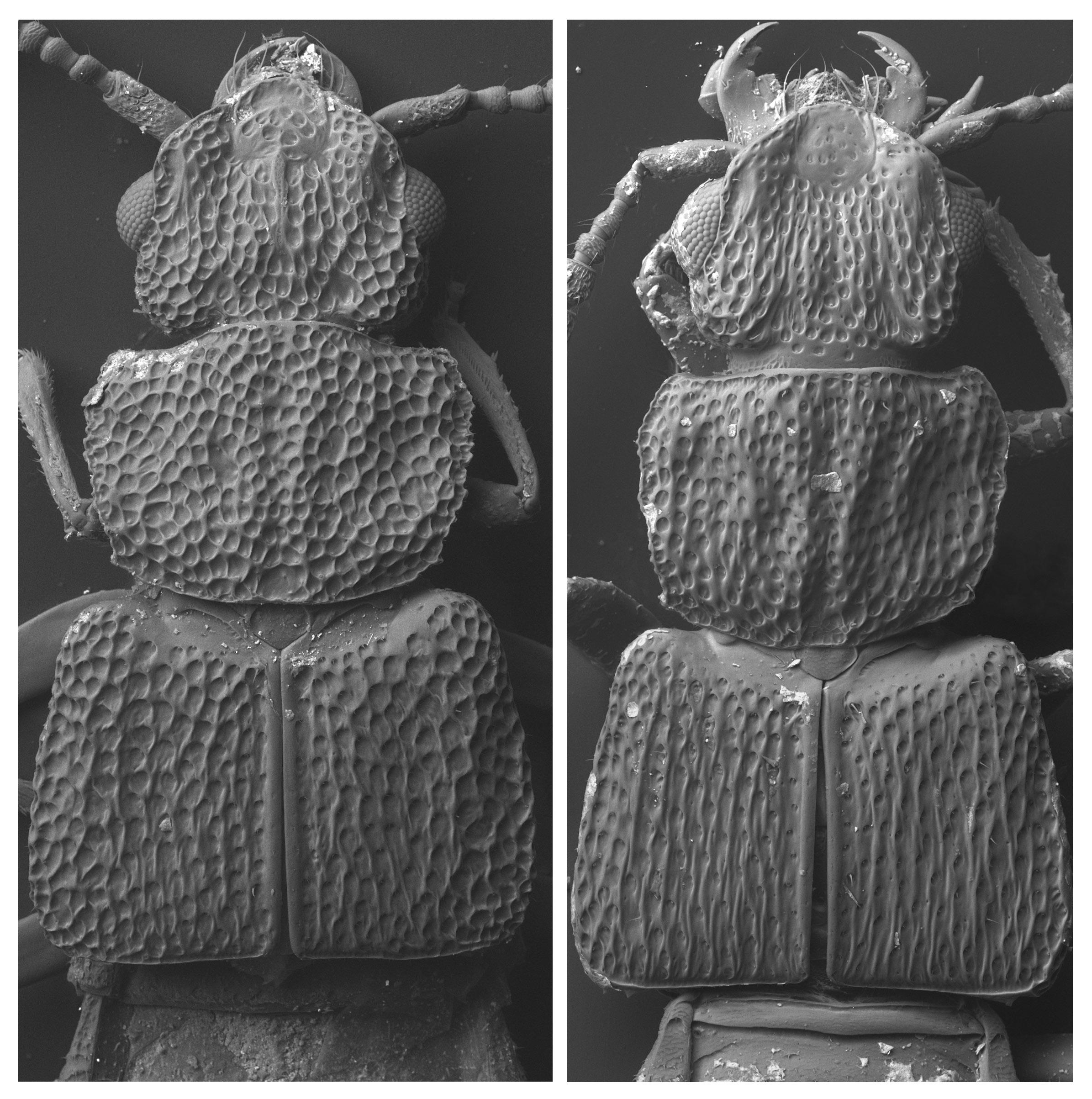 4-sem-o-africanus-dorylophilus.jpg