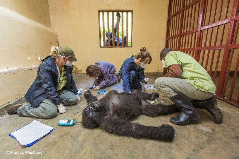 Marcus Westberg: Gorillagondoskodás
