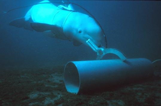 beluga-navy-attack-dolphin-sofrep-1.jpg