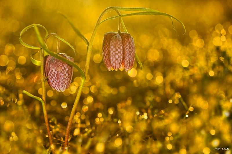1. kép: Mocsári kockásliliom (Fritillaria meleagris) (fotó: Toldi Miklós)