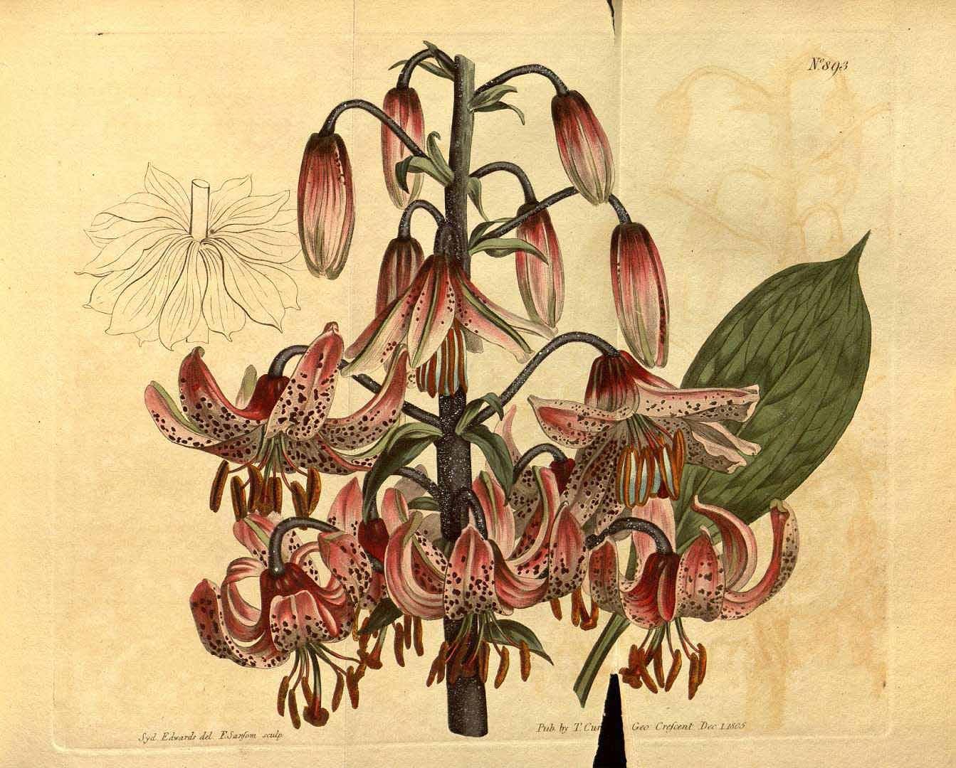 5. kép: A turbánliliom ábrája a Curtis's Botanical Magazine-ból 1806-ból (a)