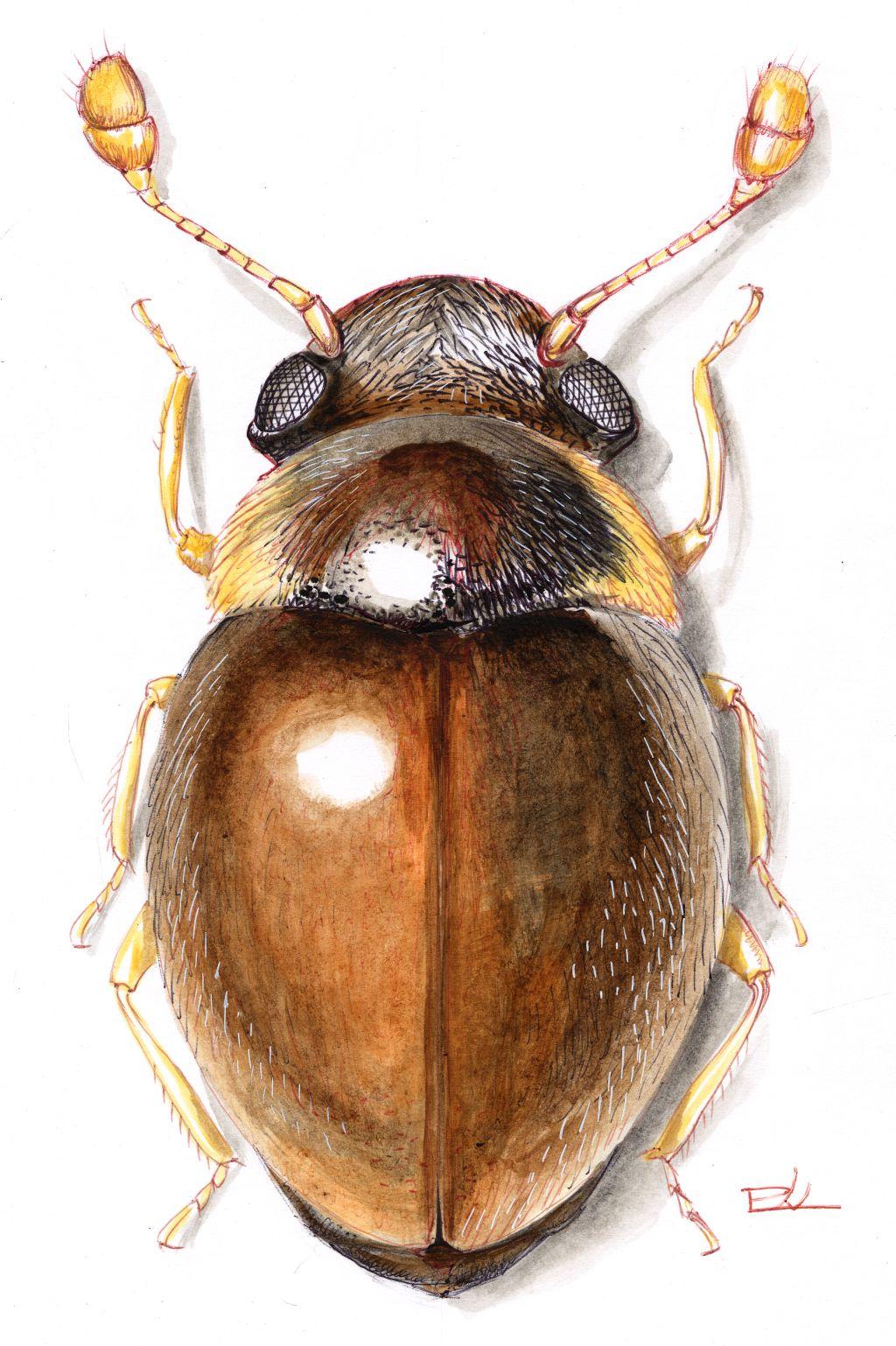 Szőrös combfedősbogár (Clambus pubescens)