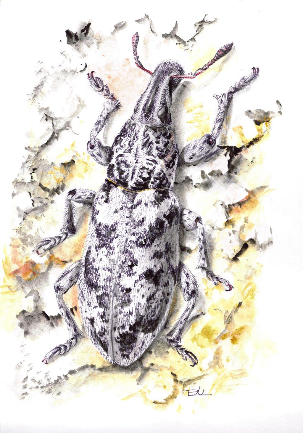 Márványos barkó (Cyphocleonus dealbatus)