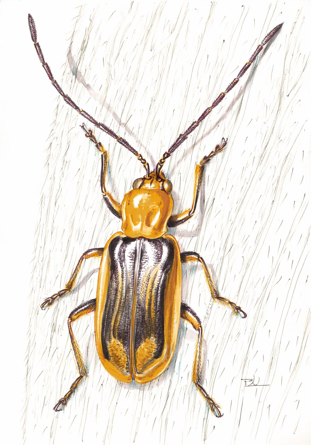 Amerikai kukoricabogár (Diabrotica virgifera)