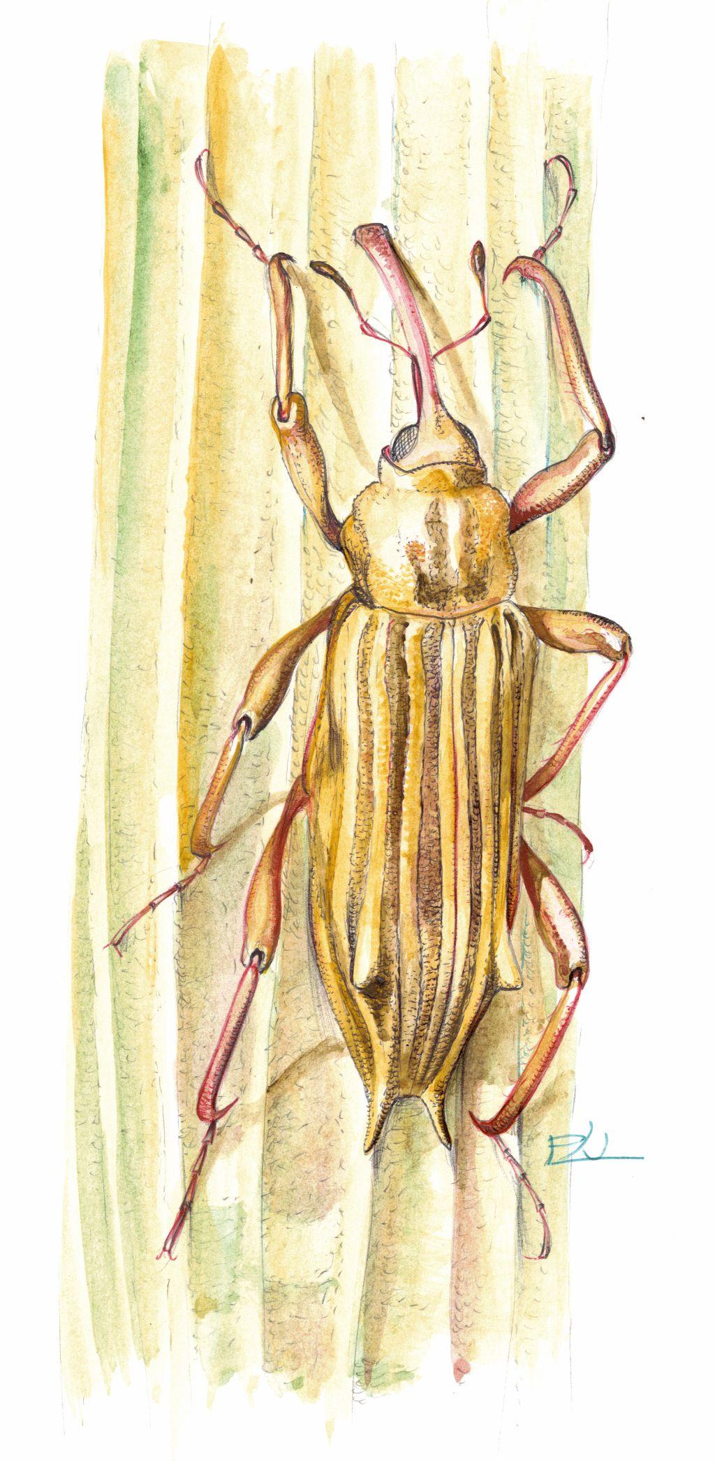 Nádi víziormányos (Bagous elegans)