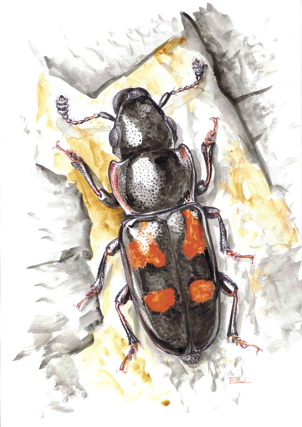 Négypontos fénybogár (Glischrochilus quadripunctatus)