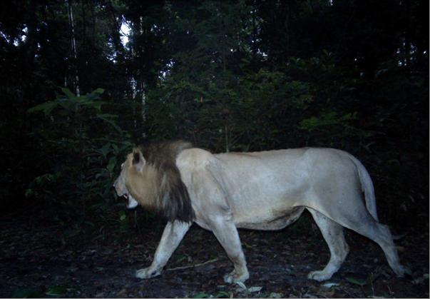 Gabon erdei oroszlánja