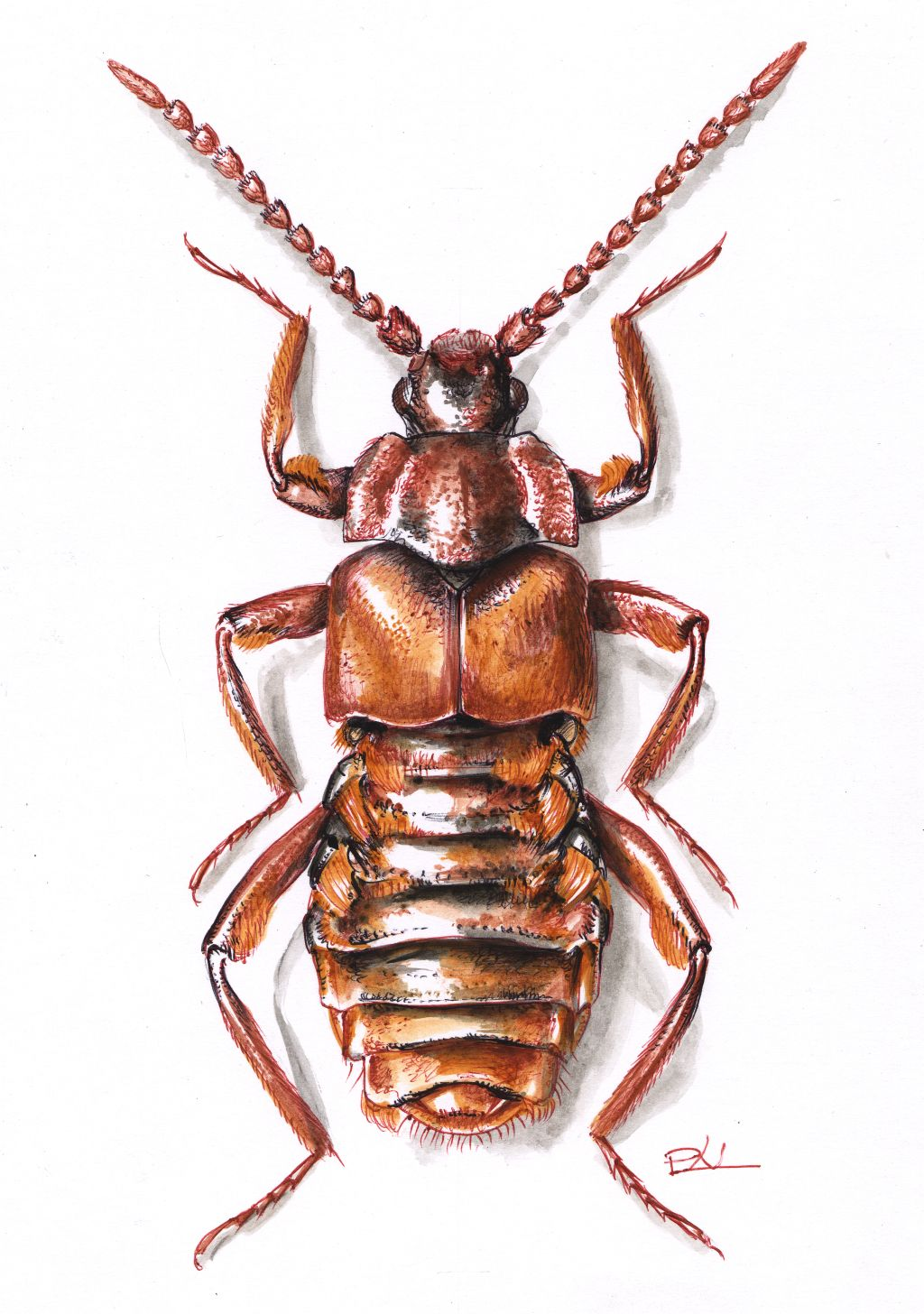 Vaskos pamacsosholyva (Lomechusoides strumosus)