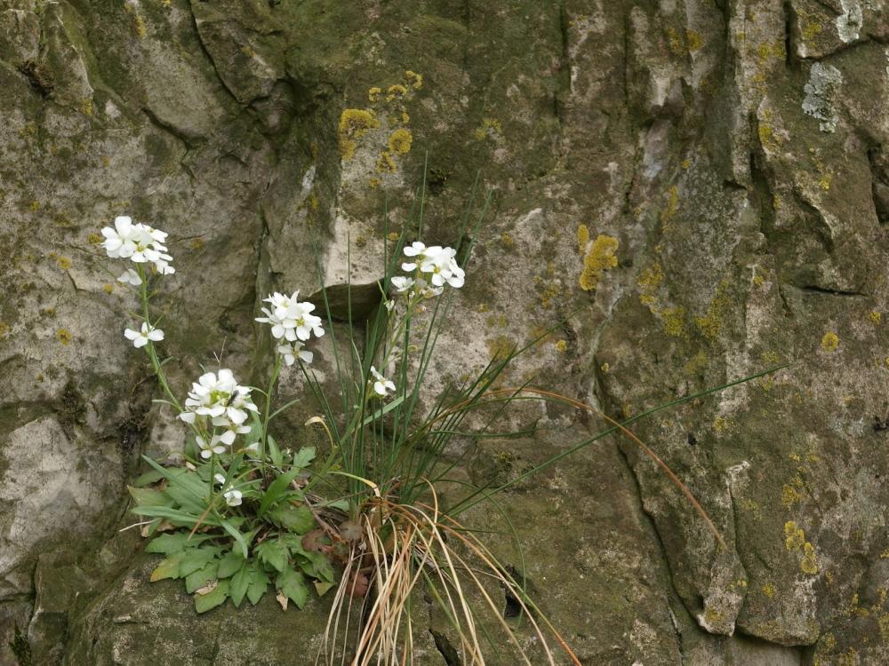 Migránsok és otthon maradók – egy tundranövény génekben őrzött vándorlástörténete