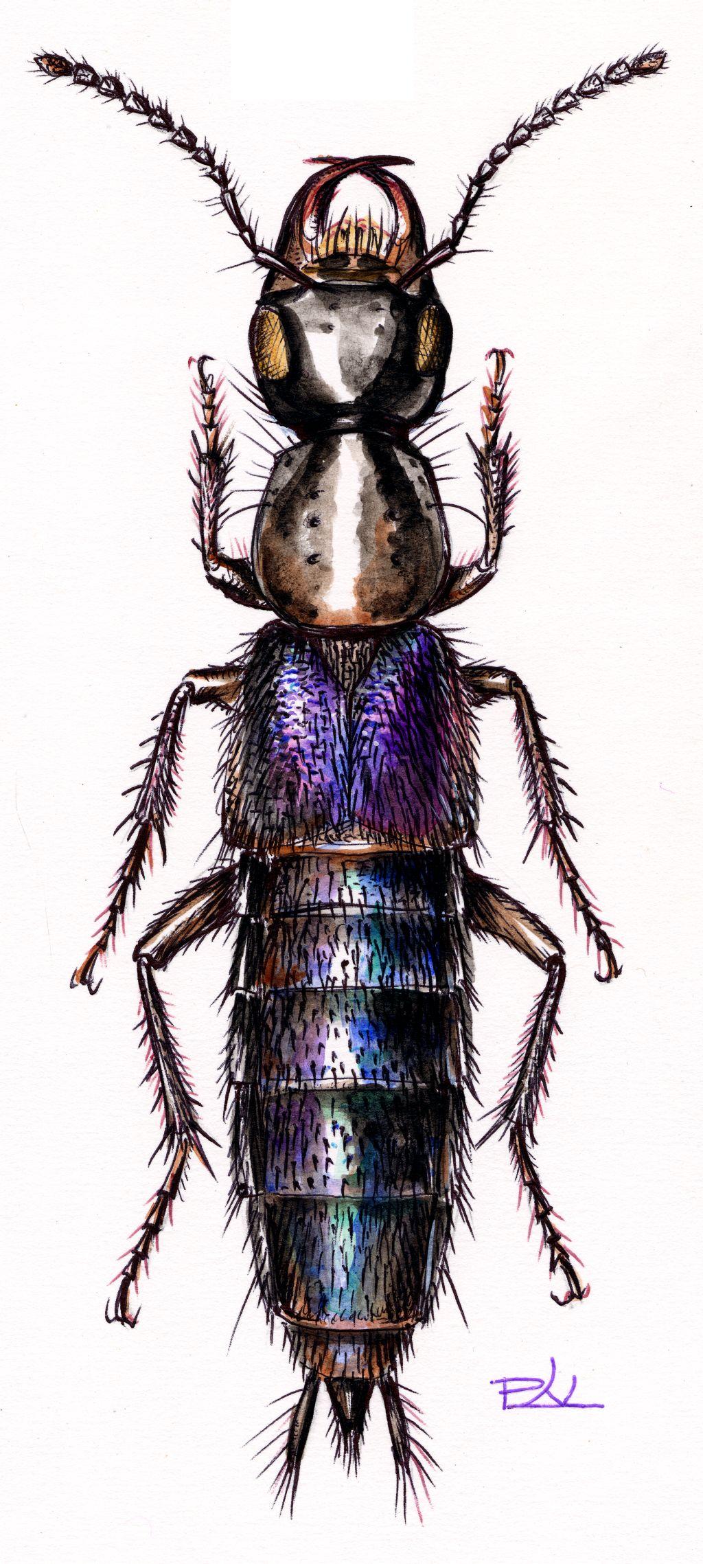Ibolyaszínű ganajholyva (Philonthus cyanipennis)